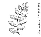 curry  leaves  sketch. vector... | Shutterstock .eps vector #1312571771