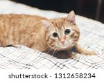 Stock photo ginger cat on the bed 1312658234