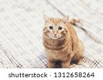 Stock photo ginger cat on the bed 1312658264