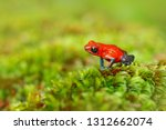 Red Strawberry Poison Dart Fro...