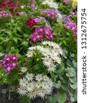 white and purple phlox popstars ... | Shutterstock . vector #1312675754