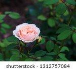 pink roses on the bush  macro ... | Shutterstock . vector #1312757084