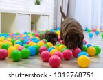 Stock photo chocolate labrador retriever puppies playing with colorful balls indoors 1312768751