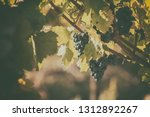 bunch of ripe blue grapes with... | Shutterstock . vector #1312892267