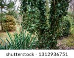 heather green ivy  helix ... | Shutterstock . vector #1312936751