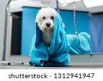close up of a wet bichon frise... | Shutterstock . vector #1312941947