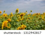 sunflower withered  old | Shutterstock . vector #1312942817