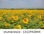 sunflowers field in summer | Shutterstock . vector #1312942844