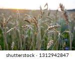 wheat field in summer | Shutterstock . vector #1312942847