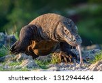 Komodo dragon sniffs the air...