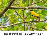 colorful black naped oriole... | Shutterstock . vector #1312944617