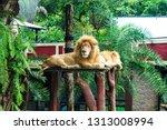 Relax Sleepy Lion