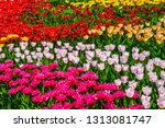 beautiful multi color tulips... | Shutterstock . vector #1313081747
