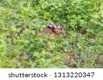Stock photo european hare hiding among green grass in summer forest brown hare lepus europaeus with long 1313220347