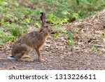 Stock photo portrait of european hare sitting on the ground brown hare lepus europaeus with long ears and 1313226611