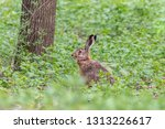 Stock photo european hare sitting among green grass in summer forest brown hare with long ears lepus 1313226617