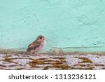 House Sparrow Chick Sitting On...