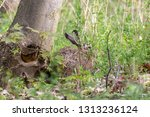 Stock photo wild brown hare hiding under the tree with green background european hare lepus europaeus with 1313236124