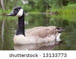 canada goose  branta canadensis ... | Shutterstock . vector #13133773