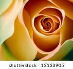 Rosa  Latin Gypsy Curiosa