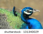 blue peacock in close up. | Shutterstock . vector #131340029