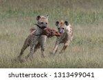 hyena running with topi head in ... | Shutterstock . vector #1313499041