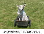 young mixed breed white dog... | Shutterstock . vector #1313501471