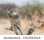 a pair of pied kingfishers ... | Shutterstock . vector #1313562314