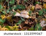 shaggy parasol mushrooms... | Shutterstock . vector #1313599367