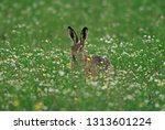 Stock photo european brown hare 1313601224
