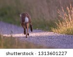 Stock photo european brown hare running 1313601227