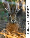 Stock photo european brown hare 1313601251
