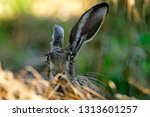 Stock photo european brown hare 1313601257