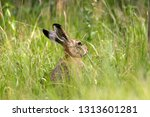 Stock photo european brown hare 1313601281