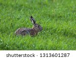 Stock photo european brown hare 1313601287