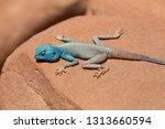 the sinai agama  pseudotrapelus ... | Shutterstock . vector #1313660594