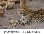 leopard lays on the ground in... | Shutterstock . vector #1313769371