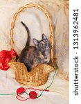 Stock photo a small three color kitten sitting in a wicker basket on the background of lace tablecloth little 1313962481