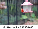red male northern cardinal... | Shutterstock . vector #1313984831