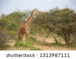 one giraffe is standing between ... | Shutterstock . vector #1313987111