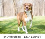 a happy red and white retriever ...   Shutterstock . vector #1314120497