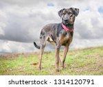 a merle catahoula leopard dog...   Shutterstock . vector #1314120791