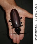 Small photo of The titan beetle (Titanus giganteus) is a neotropical longhorn beetle, the sole species in the genus Titanus, and one of the largest known beetles. Location: Presidente Figueiredo, Amazon – Brazil