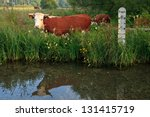 Horned Hereford Cow Standing I...