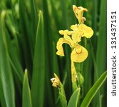 Beautiful Yellow Flag Iris...