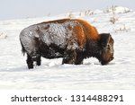 Snow Covered Bison