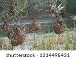 vink   finch nest hanging from... | Shutterstock . vector #1314498431