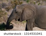 african elephant in the kruger... | Shutterstock . vector #1314531041