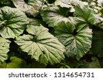 Wild Rhubarb Leaves At Dusk