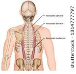 muscle iliocostalis human back... | Shutterstock .eps vector #1314777797
